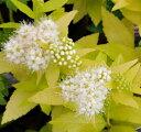 樹木苗 シモツケ(スピラエア)  ホワイトゴールド  3号ポット 耐寒性 落葉低木 庭木 花木カラーリーフ