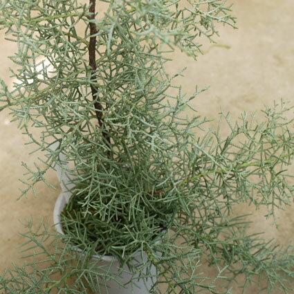 樹木苗 コニファー クプレサス アリゾニカ ブルーアイス 4号ポット 耐寒性 常緑 針葉樹 庭木
