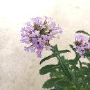 花苗バーベナボナリエンシスサンジャクバーベナ3〜3.5号ポット花色:紫宿根草多年草耐寒性耐暑性イングリッシュガーデン