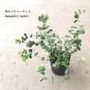 ☆【INS】オレガノロツンディフォリウム3号ポット【宿根草】【寄せ植え】【ドライフラワー】