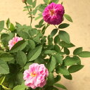 ミニバラ 芳香種 スイートチャリオット 3〜3.5号ポット苗
