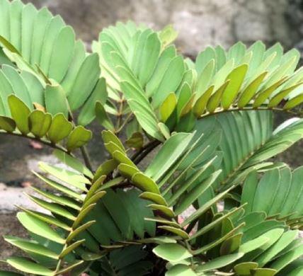 観葉植物 メキシコソテツ ザミア フルフラーセア 5号ポット ガーデニング 花苗 寄せ植え 観葉植物 庭木 花木 イングリッシュガーデン インテリアグリーン