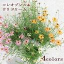花苗 コレオプシス ウリドリーム 3号ポット 4色からお選び下さい ガーデニング 花苗 寄せ植え 宿根草 多年草 イングリッシュガーデン