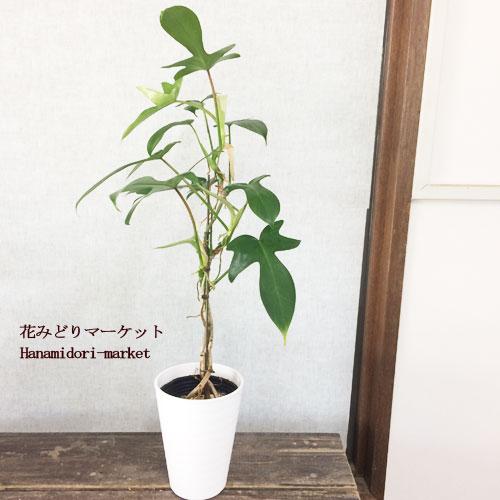 観葉植物 スタンド仕立て フィロデンドロン ヤッコカズラ 4号プラスチック鉢観葉植物 インテリアグリーン おしゃれ インテリア雑貨 ハロウィン