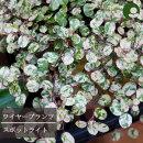 【INS4A】ワイヤープランツスポットライト3号ポット【カラーリーフ】【常緑多年草】