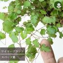 【グリーンカーテン】ミューレンベッキアワイヤープランツスペード葉3号ロングポット宿根草緑のカーテン