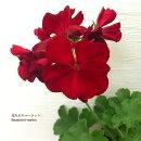 鉢花ゼラニュームカリオペダークレッド5号ポット蕾または開花株花色:赤ガーデニング花苗寄せ植え