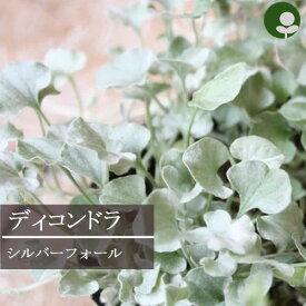 ディコンドラ シルバーフォール 2.5〜3.5号ポット(ダイコンドラ )グランドカバー カラーリーフ 寄せ植え 宿根草