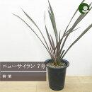 ニューサイランパープレウム(銅葉)6号ポット苗(フォーミューム)観葉植物