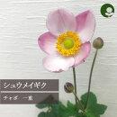 秋明菊シュウメイギクチャボ(一重ピンク花)3.5号ポット【宿根草】
