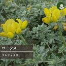 【L】ロータスクレティクス2.5〜3号ポット【イングリッシュガーデン】【カラーリーフ】