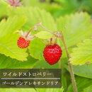 ワイルドストロベリー_photo-ac画像