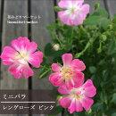 【D】【ミニバラ】レンゲローズピンク3.5号ポット【バラ苗】【薔薇】