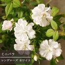 【ミニバラ】レンゲローズホワイト3,5号ポット
