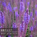 サルビアネモローサカラドンナ3〜3,5号ポット宿根草【イングリッシュガーデン】