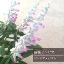 ☆サルビアレウカンサピンクアメジストジ3,5号ポット開花株【宿根草】【イングリッシュガーデン】