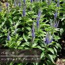 ベロニカロンギフォリア3.5号ポット苗ラベル苗宿根草【イングリッシュガーデン】