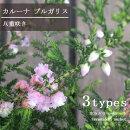 八重咲きカルーナカルーナブルガリス3号ポット苗