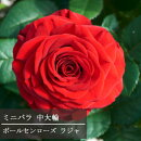 ミニバラ中大輪系パティオヒットラジャ3.5号ポット苗ポールセンローズ四季咲き中大輪薔薇鉢花アプリコット