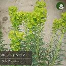 花苗ユーフォルビアカラキアスウルフェニー3.5号ポット花色黄宿根草多年草イングリッシュガーデン耐寒性常緑