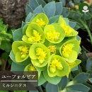 ユーフォルビアミルシニテス3号ポット苗宿根草【イングリッシュガーデン】