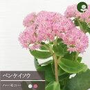 ☆セダムオオベンケイソウオータムジョイ3号ポット苗【宿根草】【多肉植物】