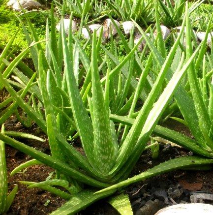 多肉植物 アロエ ベラ 4号ポット ガーデニング 花苗 寄せ植え 宿根草 多年草 観葉植物 ハーブ 家庭菜園 インテリアグリーン
