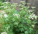野菜苗 長命草 ボタンボウフウ 3号ポット ガーデニング 宿根草 多年草