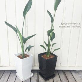 観葉植物 ストレリチア ノンリーフ ユンケア(ユンセア) 6号プラ鉢【鉢皿付き】