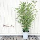 観葉植物シマトネリコ6号ポット苗