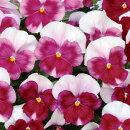 【2個セット】パンジーよく咲くスミレロゼ3〜3.5号ポット苗計2ポットセット
