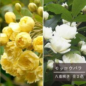 モッコウバラ 八重咲き 3〜3.5号ポット苗つるバラ 庭木 トゲ無し