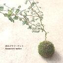 観葉植物 ソフォラ リトルベイビー 苔玉仕立て