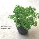 野菜苗【3個セット】パセリ 3号ポット苗