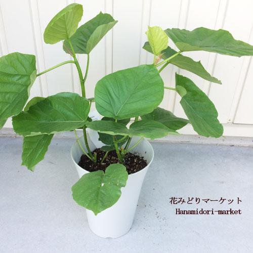 観葉植物 フィカス ウンベラータ 6号プラスティック鉢 【同梱不可 単品発送】インテリアグリーン
