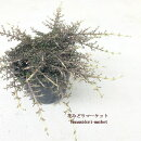 【耐寒性観葉植物】コプロスマアケロサ3号ポット苗耐寒性常緑インテリアプランツ小低木樹木