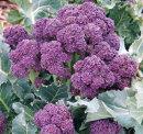 野菜苗【3ポットセット】茎ブロッコリー紫3号ポット苗3ポットセット