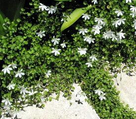 プラティア アングラータ 白花エクボ草 3〜3.5号ポット苗