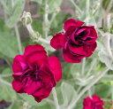 リクニス コロナリア ガーデナーズワールド 3〜3.5号ポット苗八重咲きフランネル草 カラーリーフ