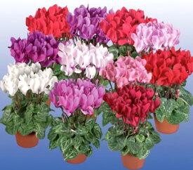 【3個セット】ガーデンシクラメン 花色おまかせ 3号ポット苗 計3ポットセット