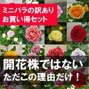 ミニバラ アウトレットおまかせ5鉢セット3〜3.5号ポット苗ガーデニング 鉢花 ポットローズ