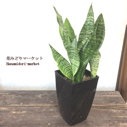 【観葉植物】 サンセベリア  ゼラニカ  5号プラ鉢 インテリアプランツ サンスベリア