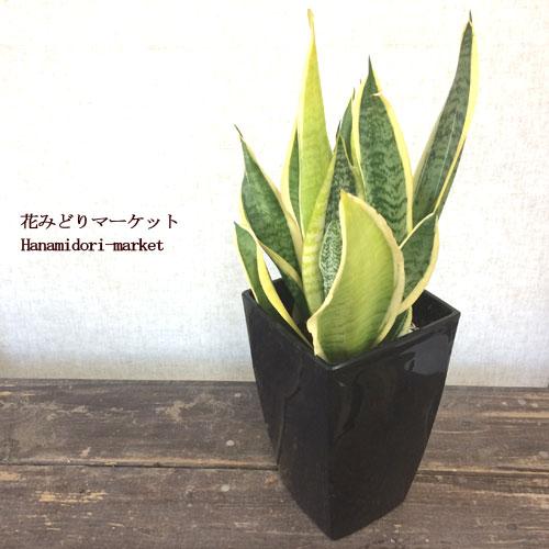 観葉植物 サンセベリア ローレンチ 5号黒プラスチック角鉢(受皿付き) サンスベリア ガーデニング 花苗 寄せ植え 多肉植物 カラーリーフ インテリアグリーン