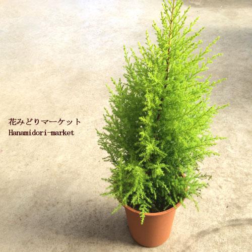 樹木苗 コニファー ゴールドクレスト 6号ポット 耐寒性 常緑針葉樹