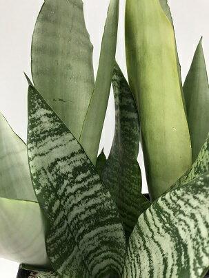 観葉植物 サンセベリア 品種MIX植え 5号黒プラスチック角鉢(受皿付き) ガーデニング 花苗 寄せ植え 宿根草 多年草 多肉植物 カラーリーフ インテリアグリーン