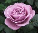 花苗 ミニバラ ラミー 3,5号ポット 花色 ムラサキ 薔薇 ポールセンローズ 四季咲き