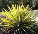 アウトドア観葉植物ユッカガーランドゴールド(フィラメントーサ)6号ポットカラーリーフインテリアグリーン常緑低木