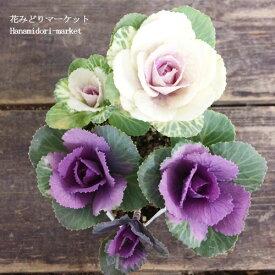 【期間限定特価】ハボタン ローズブーケ ツイン 3号ポット苗(葉牡丹)