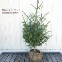 【送料無料】 ドイツトウヒ 根巻き 高さ:約80〜100cm (クリスマスツリー モミノキ)