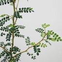 観葉植物 ソフォラ リトルベイビー 3号ポット苗 ガーデニング 寄せ植え 花苗 常緑低木 インテリアグリーン